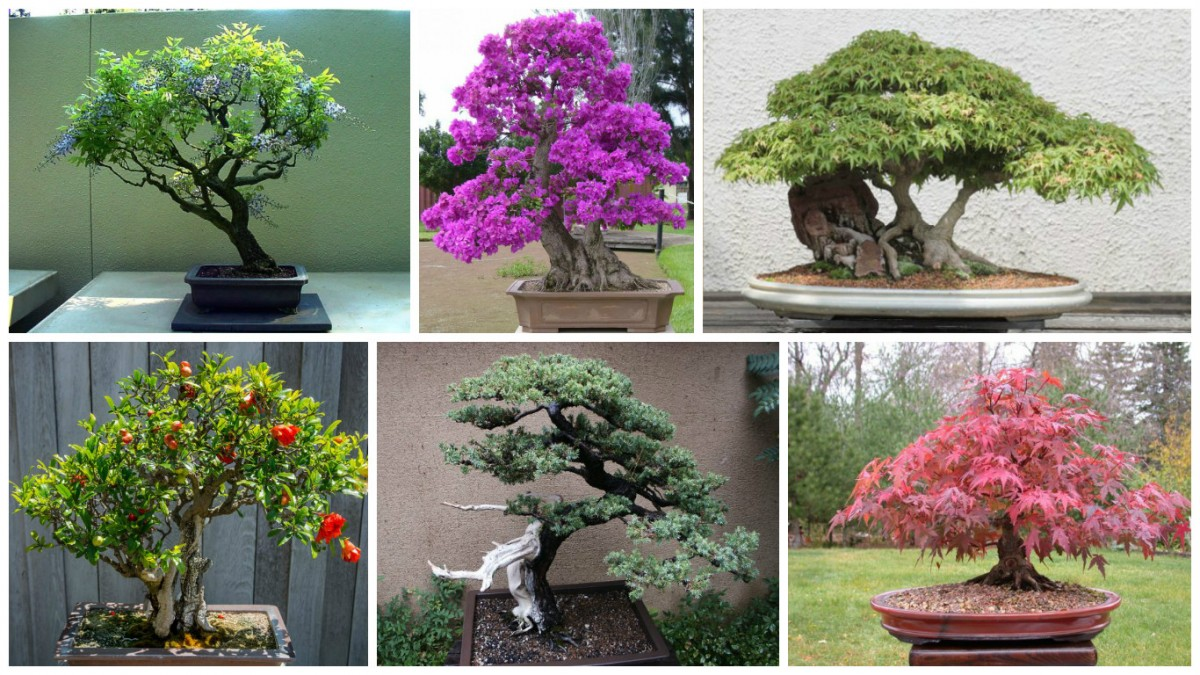 10 jardin japonais impressionnant avec arbre bonsai. Black Bedroom Furniture Sets. Home Design Ideas